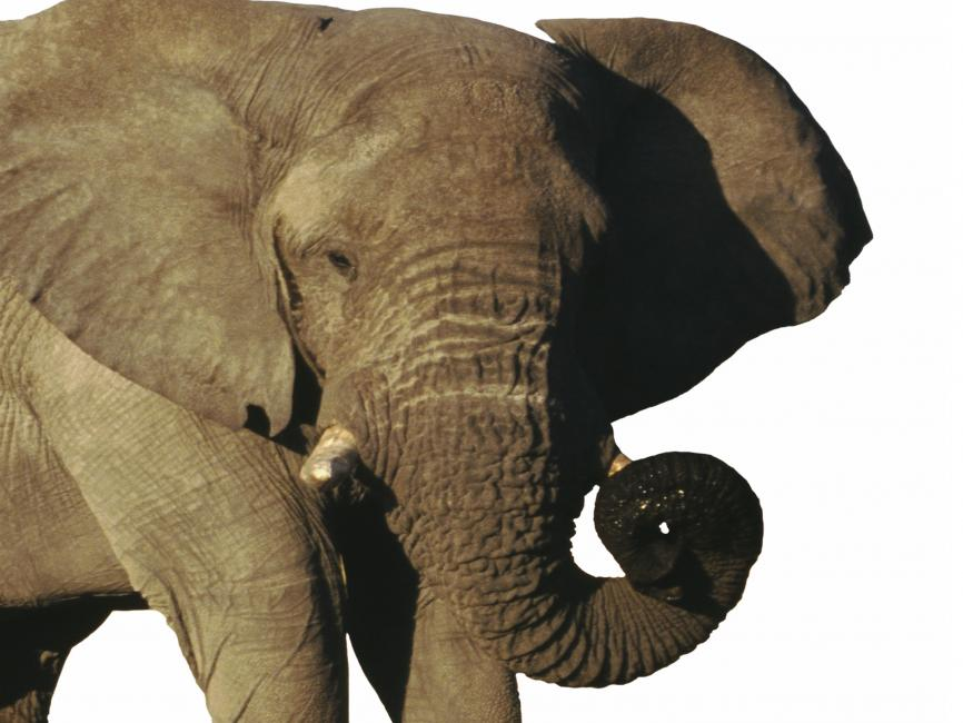 an image of an elephant in front of a white background